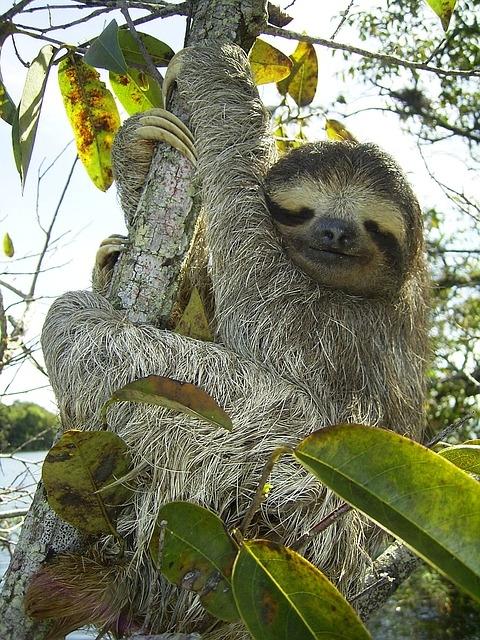 pygmy-sloth